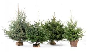 7 euros en bon d'achat pour l'achat d'un sapin de Noel Botanic
