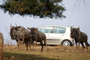 Billet Safari de Peaugres