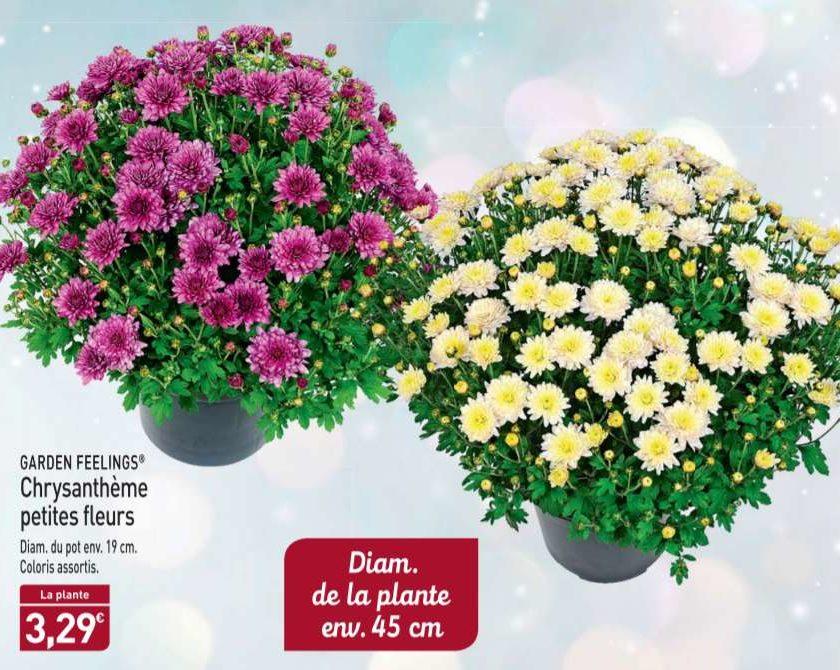 3,29€ Chrysanthème environ 45cm chez Aldi