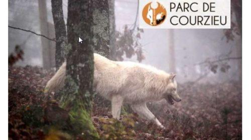 Balade découverte des loups pendant les vacances de Noel dans le Parc Animalier de Courzieu